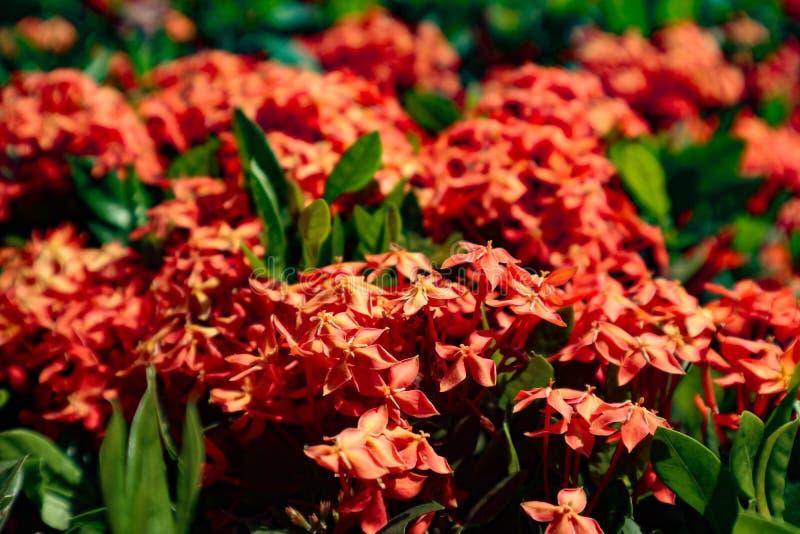 Vermelho amarelo roxo do close up bonito e flores alaranjadas da cor nos parques verdes exteriores fotografia de stock