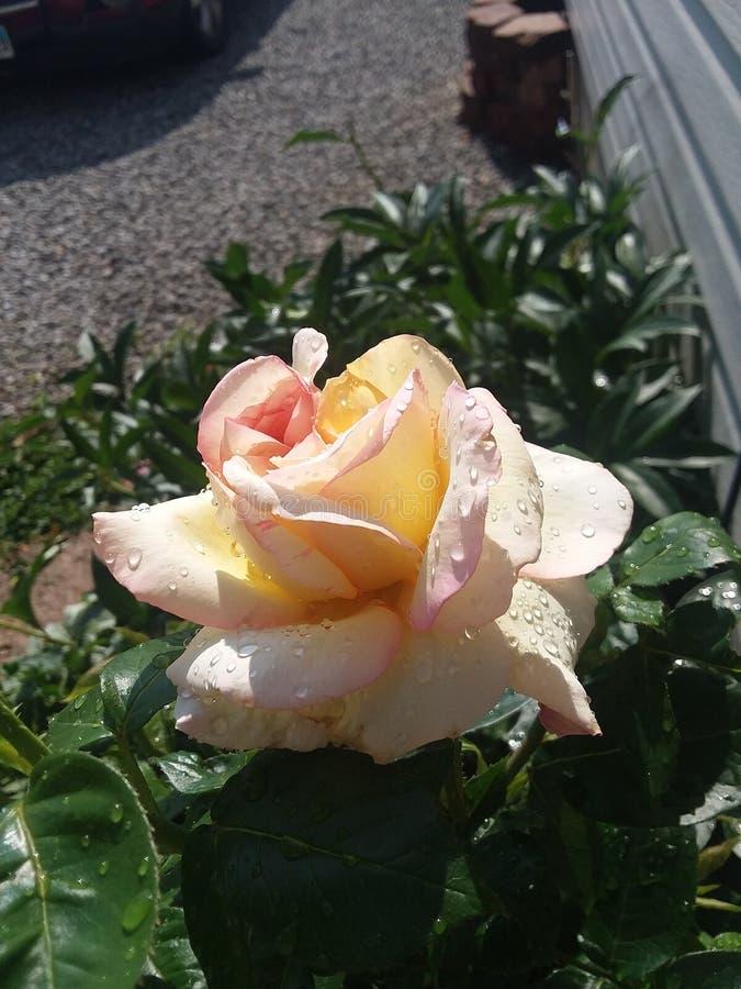 Vermelho arent das rosas sempre imagem de stock royalty free