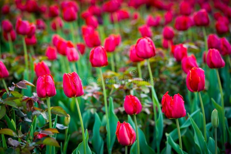 Vermelho as tulipas de florescência foto de stock