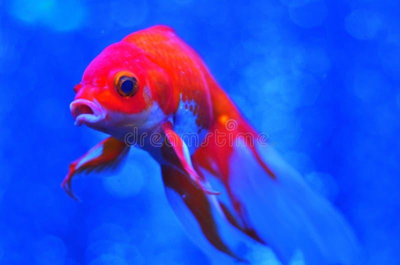 Vermelho com os peixes brancos na água azul pura foto de stock