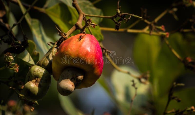 Vermelho da árvore e do fruto de porca do caju na cor imagem de stock