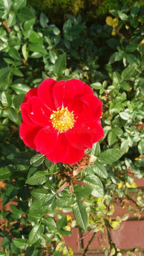 Vermelho da flor foto de stock royalty free