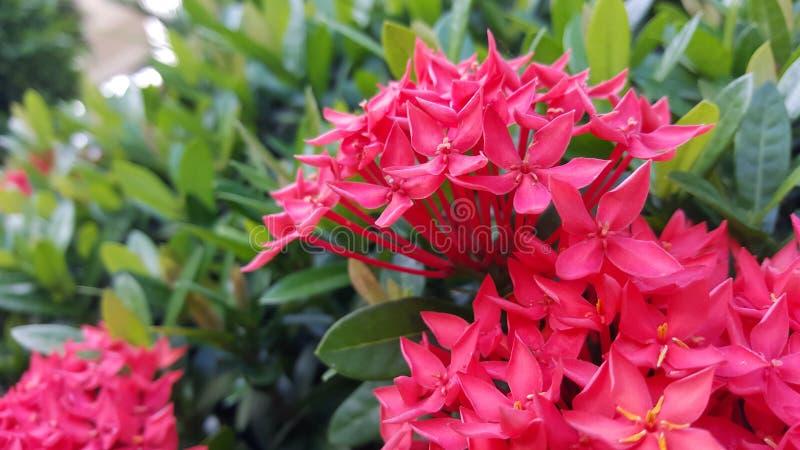 Vermelho da flor de Ixora foto de stock royalty free