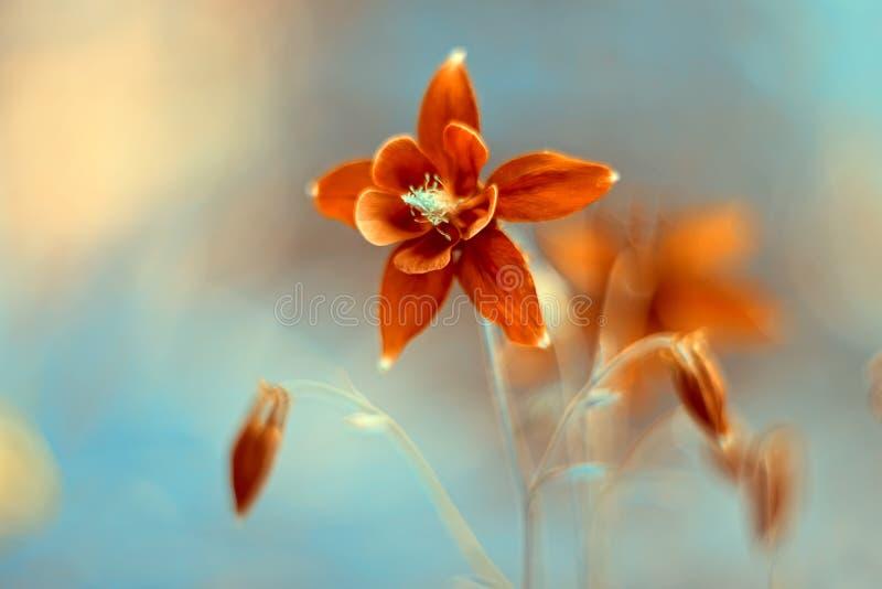 Vermelho de Aquilegia da flor Flores delicadas em um fundo bonito fotografia de stock royalty free
