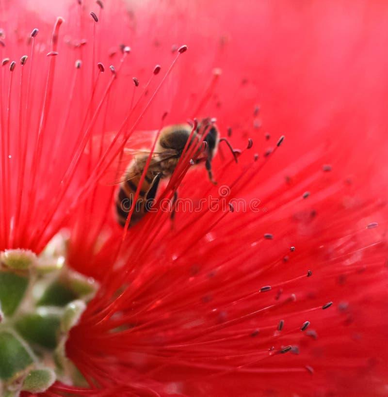 Vermelho delicado puro da abelha de Bloosoming imagem de stock royalty free