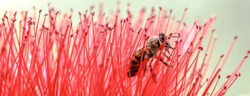 Vermelho delicado puro da abelha de Bloosoming fotos de stock