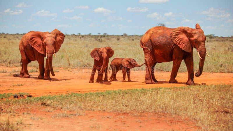 Vermelho do africana do Loxodonta dos elefantes africanos da família de quatro pessoas de d fotografia de stock