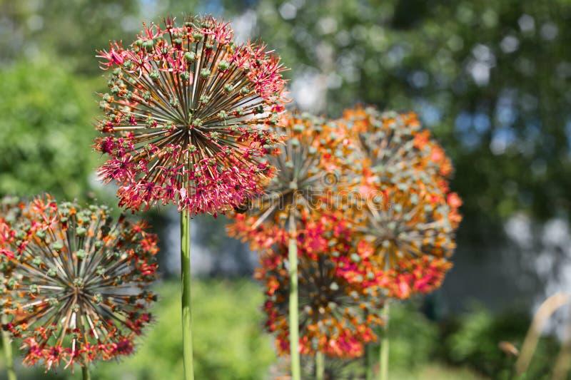 Vermelho do Allium no jardim foto de stock royalty free