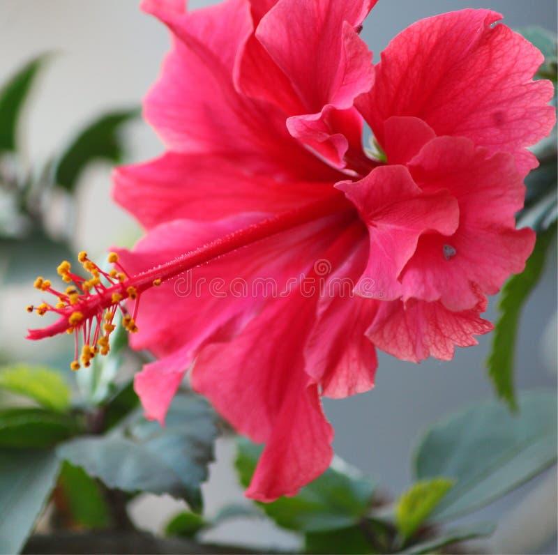 Vermelho do hibiscus com pólens fotografia de stock