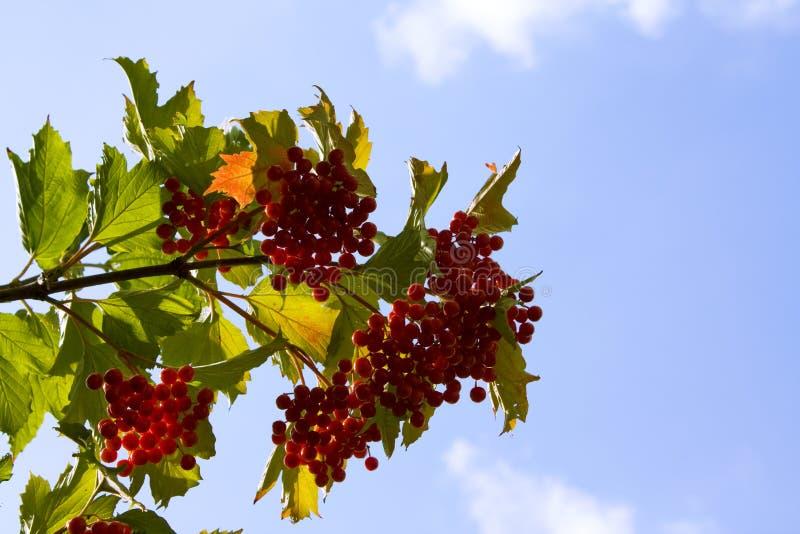 Vermelho do Viburnum fotos de stock