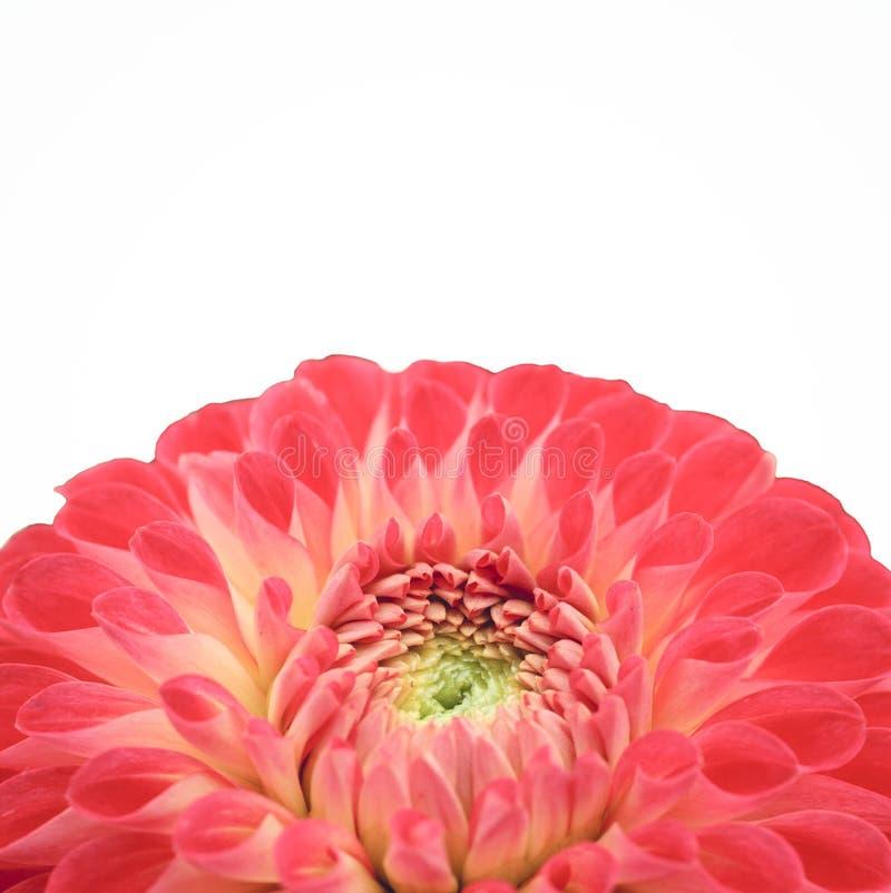 Vermelho e claro - flor cor-de-rosa da dália com fim amarelo e verde do centro acima da foto macro isolada no fundo branco fotografia de stock