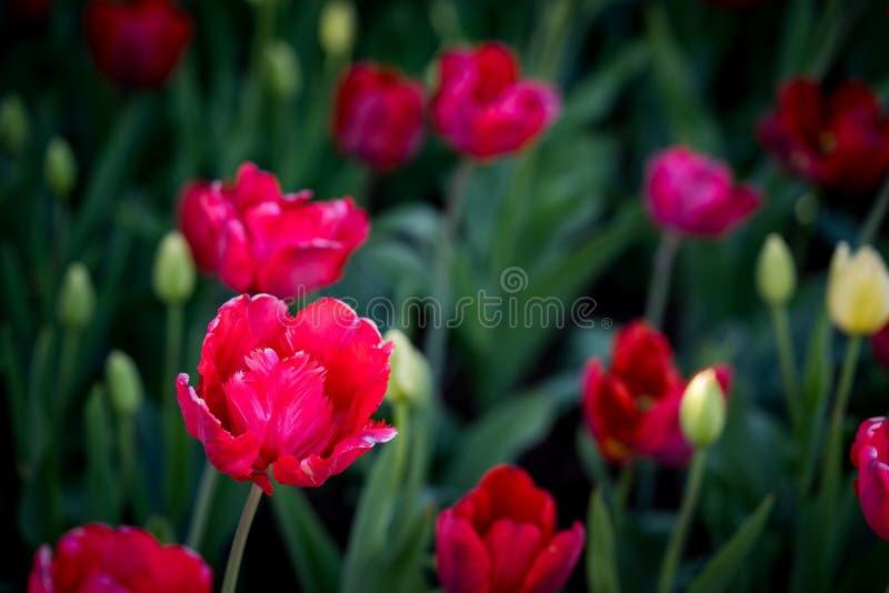 Vermelho fino as tulipas de florescência imagem de stock royalty free
