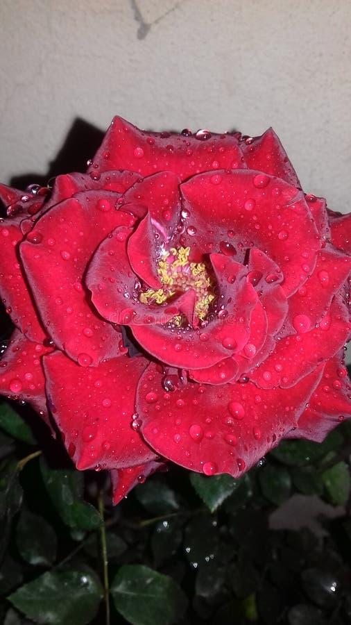 Vermelho grande da flor fotos de stock royalty free