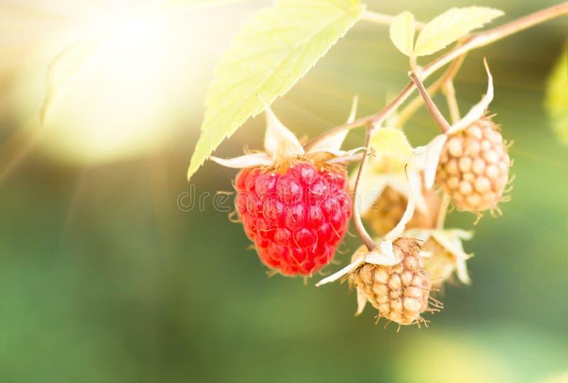 Vermelho maduro no arbusto, fundo das framboesas imagem de stock royalty free