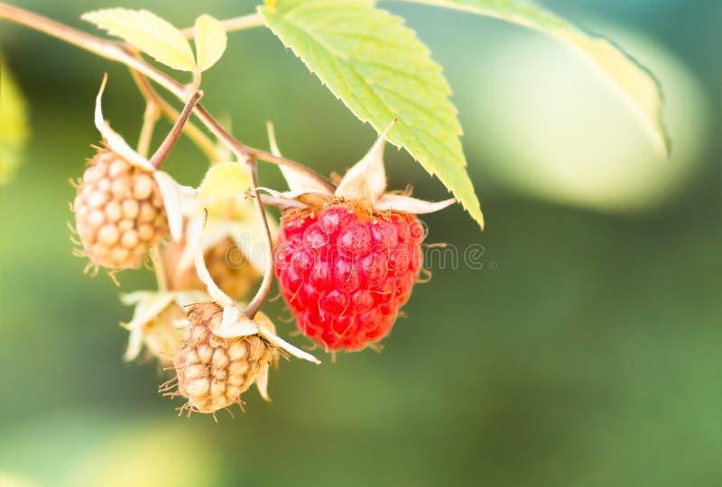 Vermelho maduro no arbusto, fundo das framboesas imagens de stock