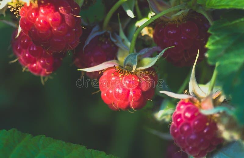 Vermelho maduro no arbusto, fundo das framboesas fotos de stock