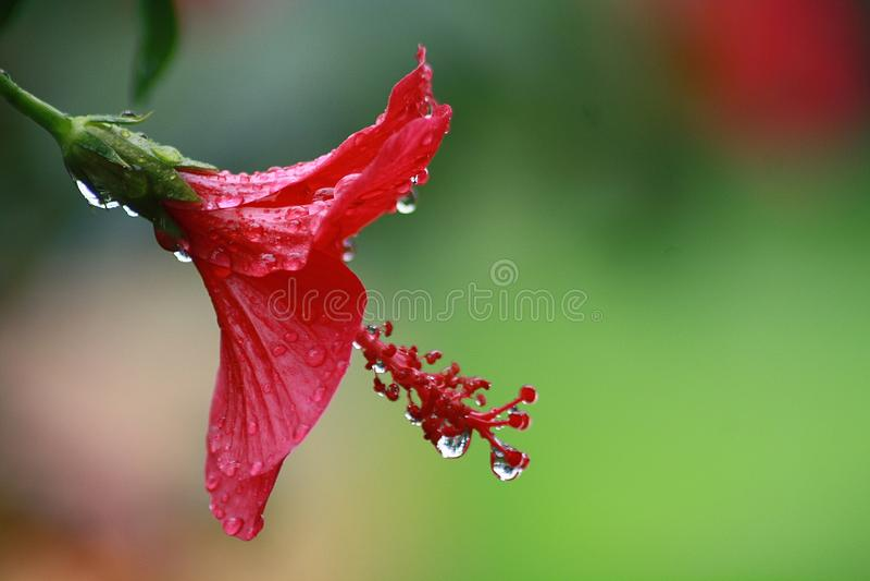 Vermelho na chuva imagens de stock royalty free