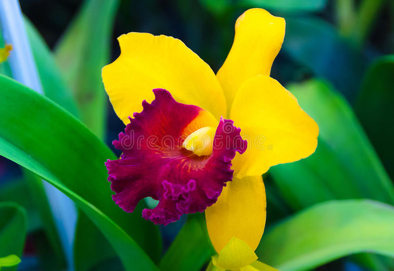 Vermelho na florescência amarela da flor da orquídea do cattleya imagem de stock royalty free