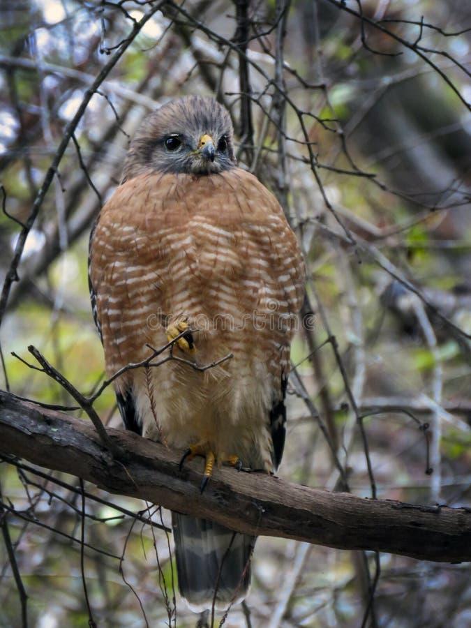 Vermelho-ombros Hawk Front View foto de stock