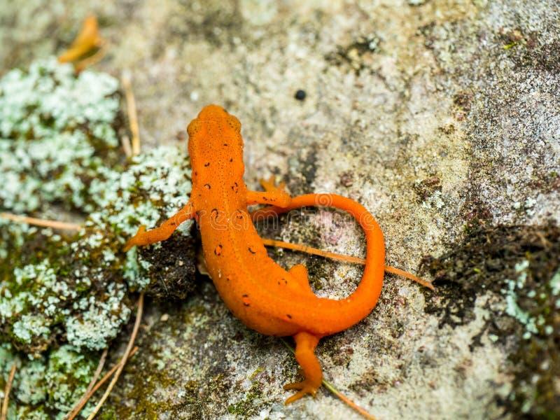Vermelho oriental newt manchado imagens de stock