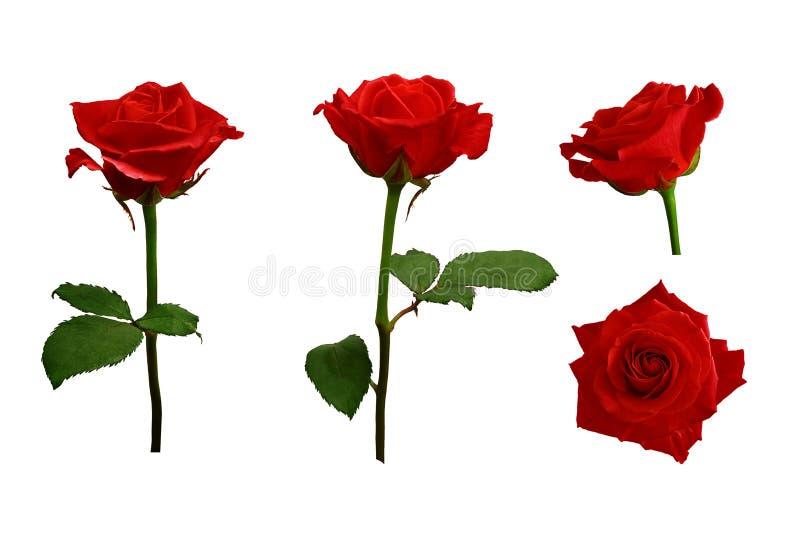 Vermelho ou escarlate das rosas com folhas verdes Isolado imagens de stock