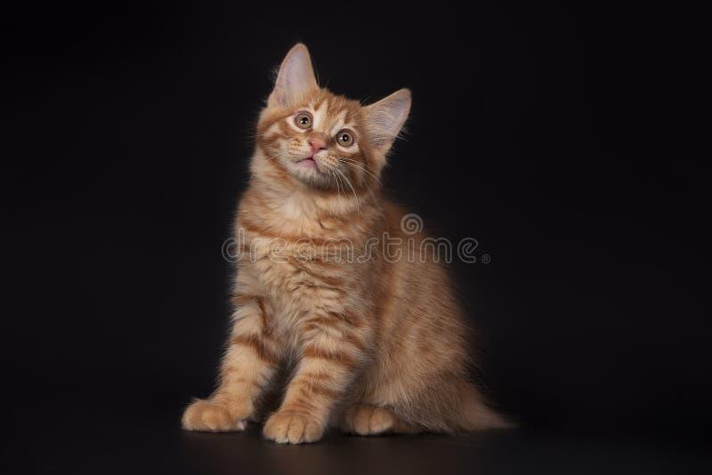Vermelho pouco gato no fundo preto, tiro do estúdio foto de stock royalty free