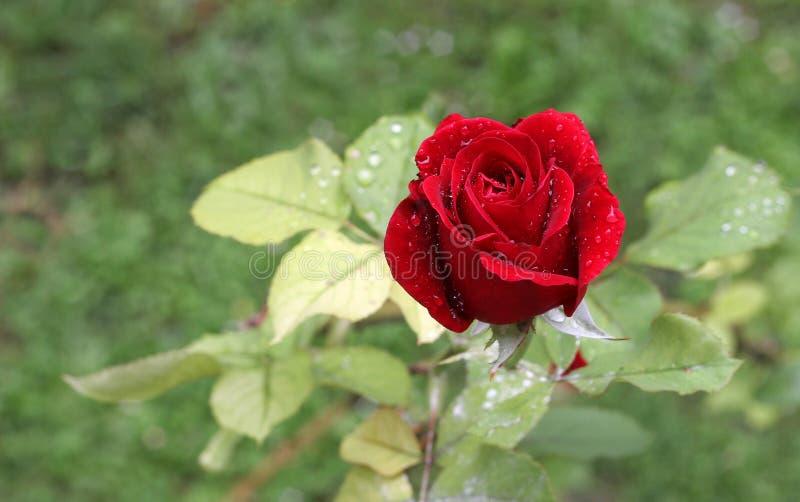 Vermelho rosa em flor, molhado com chuva fotografia de stock royalty free