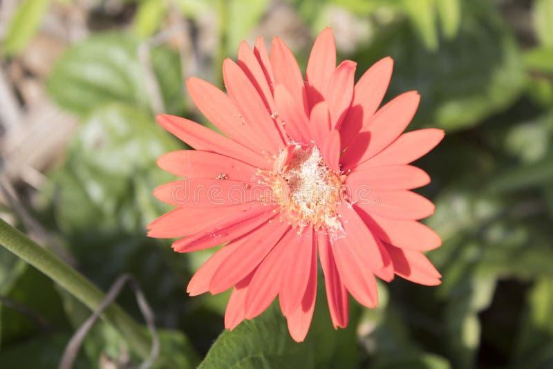 Vermelho solitário, flor bonita de Pollenated fotografia de stock royalty free