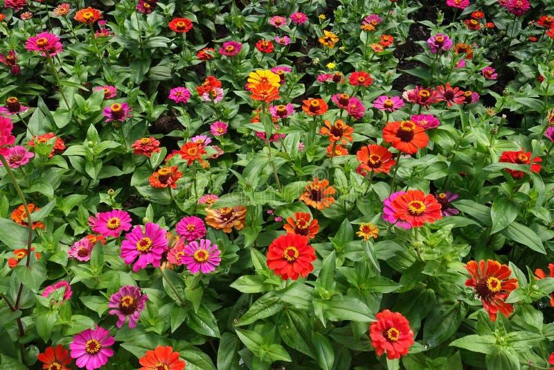 Vermelho vívido, cor-de-rosa, magenta, laranja, flores amarelas do zinnia fotografia de stock