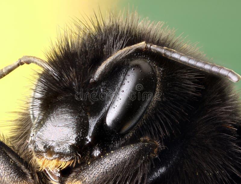 Vermelhos atados Bumble o perfil do macro da abelha imagem de stock