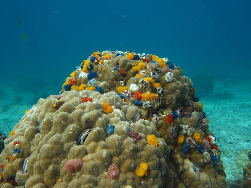Vermi di Koh Tao Christmas di immersione subacquea fotografie stock libere da diritti