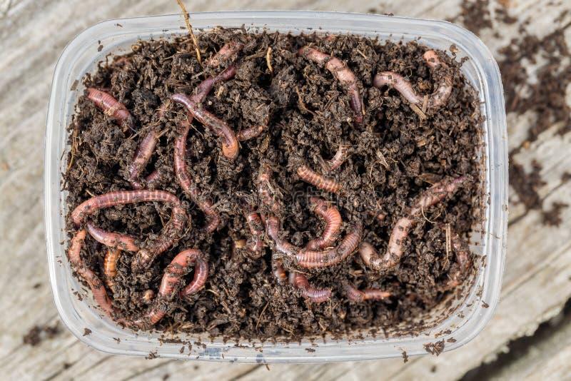 Vermi rossi Dendrobena in una scatola in concime, esca viva del lombrico per pescare immagini stock