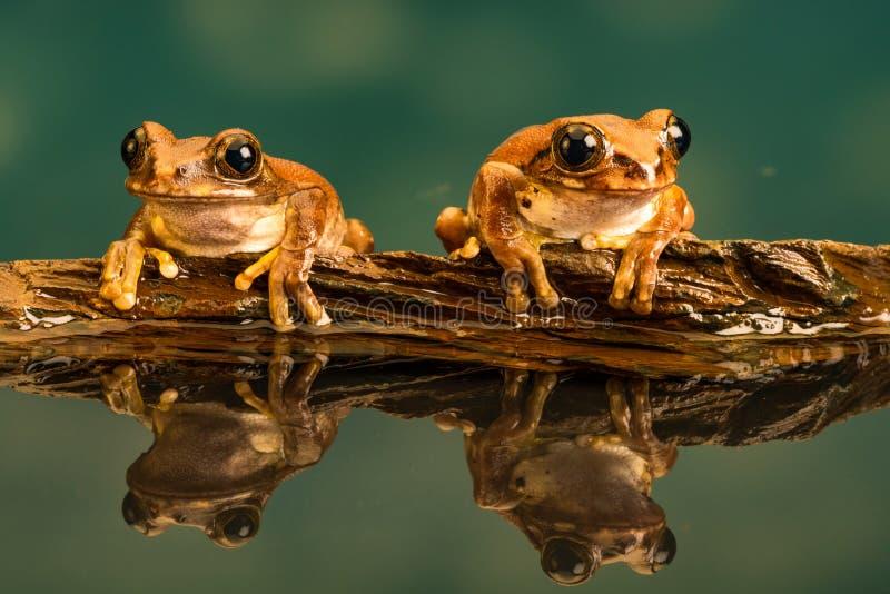 Vermiculatus de Leptopelis de deux de paon grenouilles d'arbre R?flexions dans l'eau photo libre de droits