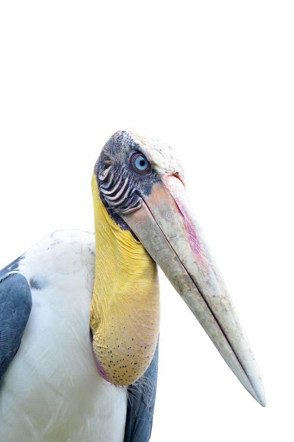 Download Vermieteradjutantstorch Vogel Stockfoto - Bild von reflexion, feder: 26373188