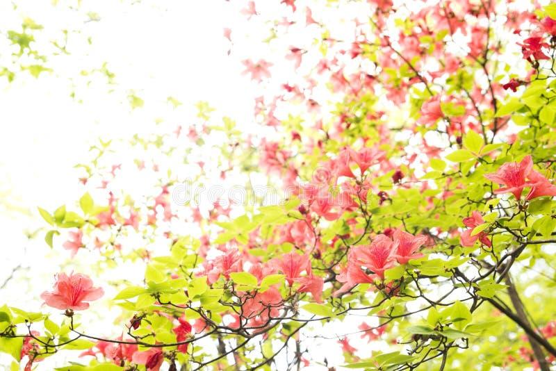 Vermilion azalea flowers stock photos