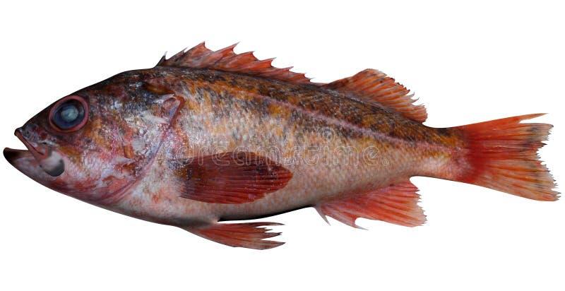 Vermillion Rockfish. Fish illustration on white background vector illustration