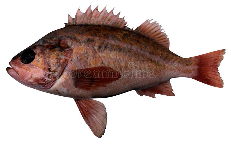 Vermillion Rockfish. Fish illustration on white background royalty free illustration