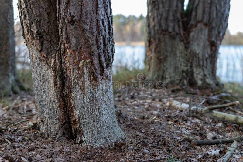 Verminkte bomen door bevers Pijnboom gestript van schors door bevers royalty-vrije stock foto's