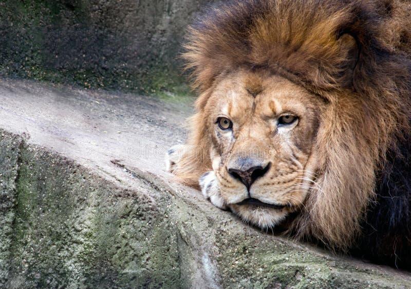 Vermoeid leeuwportret dicht omhoog stock afbeeldingen