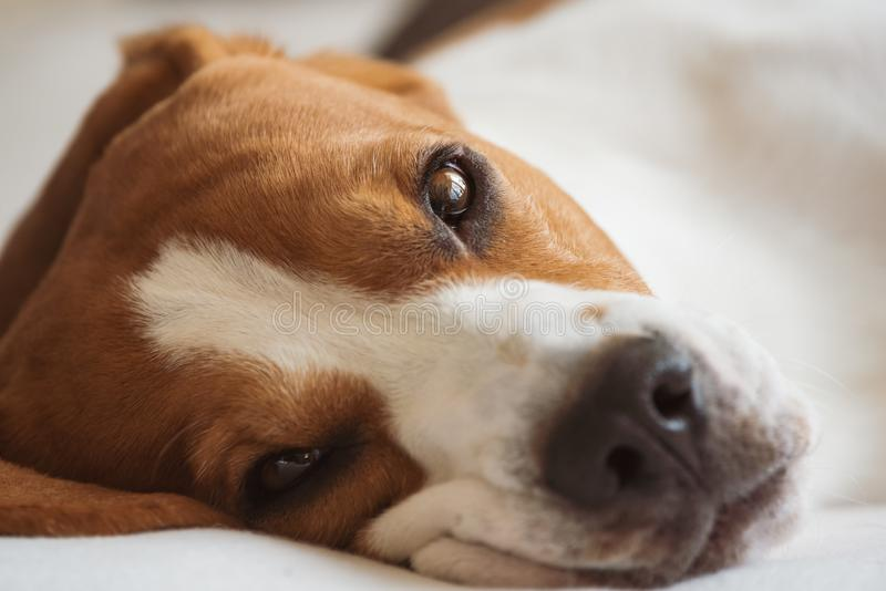 Vermoeide brak de hond ligt bij laag en het rusten royalty-vrije stock afbeelding