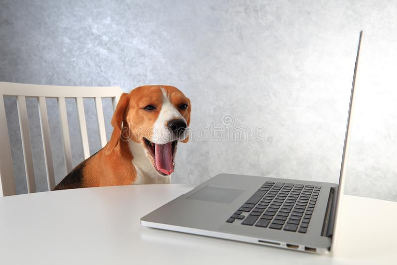 Vermoeide brakhond met geopende mond bij laptop Hondgeeuwen na het werken stock afbeeldingen