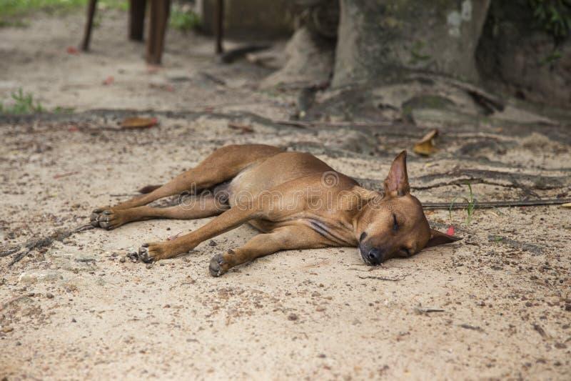 Vermoeide bruine hond die op de grond liggen stock foto