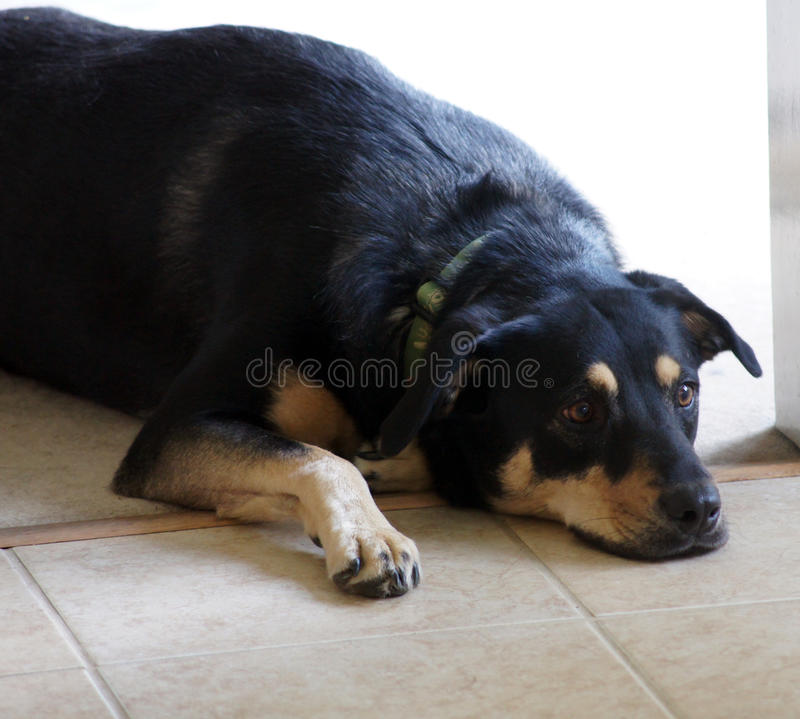 Vermoeide Hond stock foto