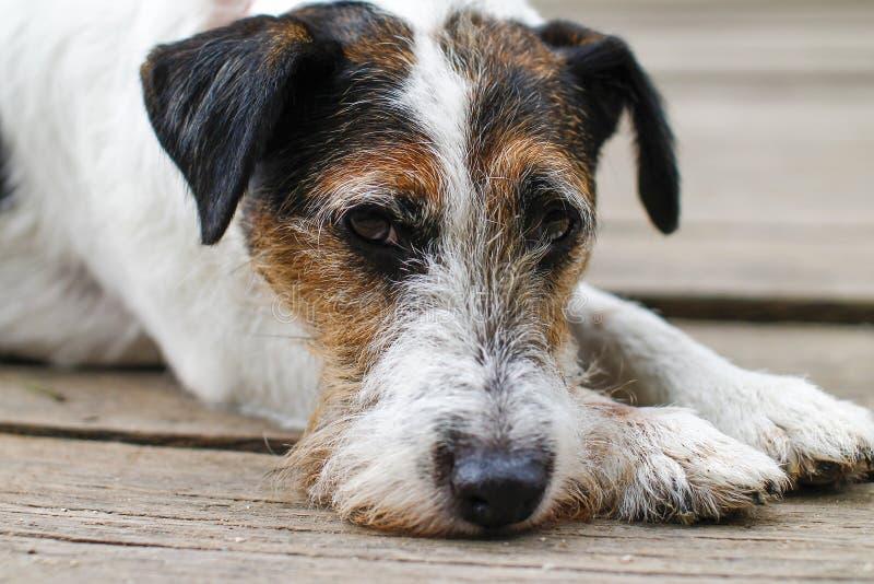 Vermoeide hond na het lopen - Droevige hond - Hondportret stock foto