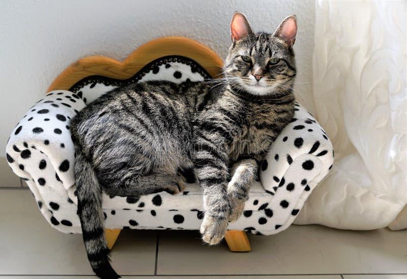 Vermoeide tijgerkat op een Dalmatische laag royalty-vrije stock foto's