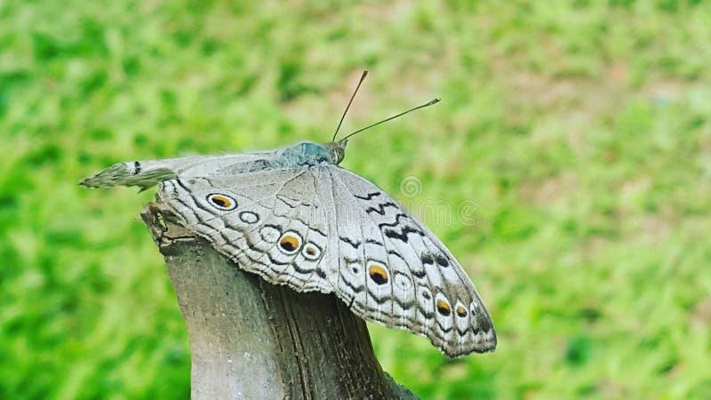 Vermoeide vlinder stock fotografie