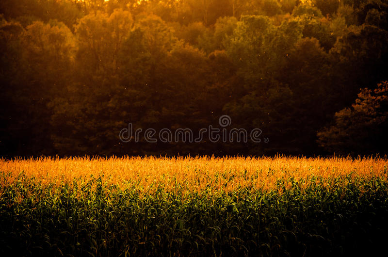 Vermont Foliage. A stand of trees on the edge of a corn field along the Walden Road in Cabot Vermont. The setting sun is just lighting the tops of the corn and stock photography