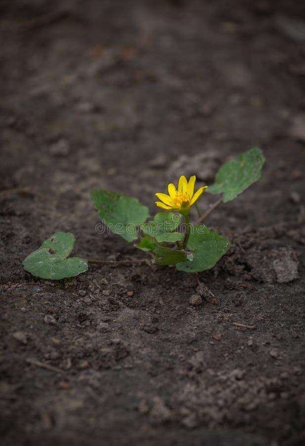 Verna Ficaria, ficaria лютика обыкновенно известное как меньший celandine или pilewort Росток желтого цветка на треснутый стоковое фото