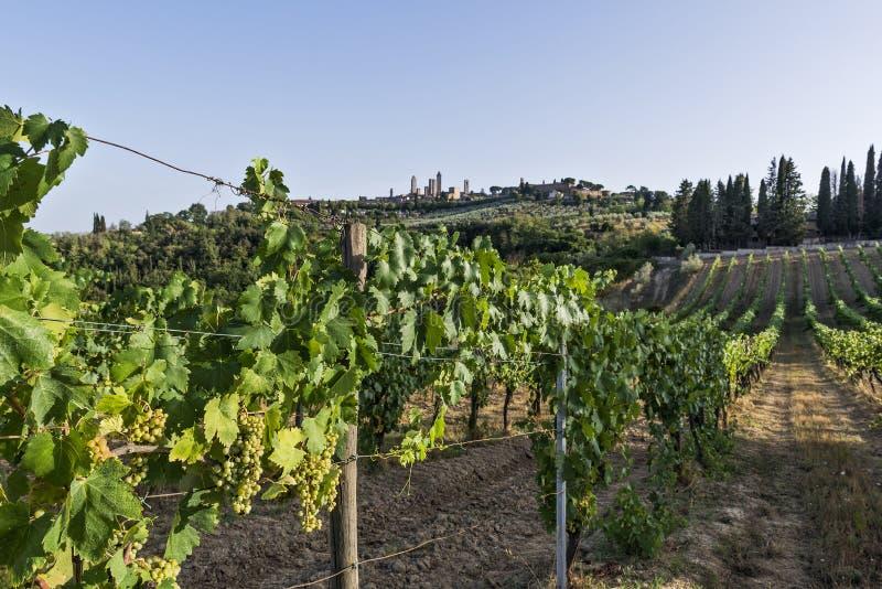 Vernaccia winnicy na Siena wzgórzach w Tuscany obraz stock