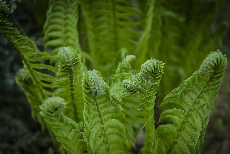 Vernal να ξετυλίξει φύλλα φτερών Νέοι νεαροί βλαστοί της φτέρης του ανοικτό πράσινο χρώματος Δασικές εγκαταστάσεις στοκ φωτογραφία